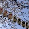 中野 北口 桜