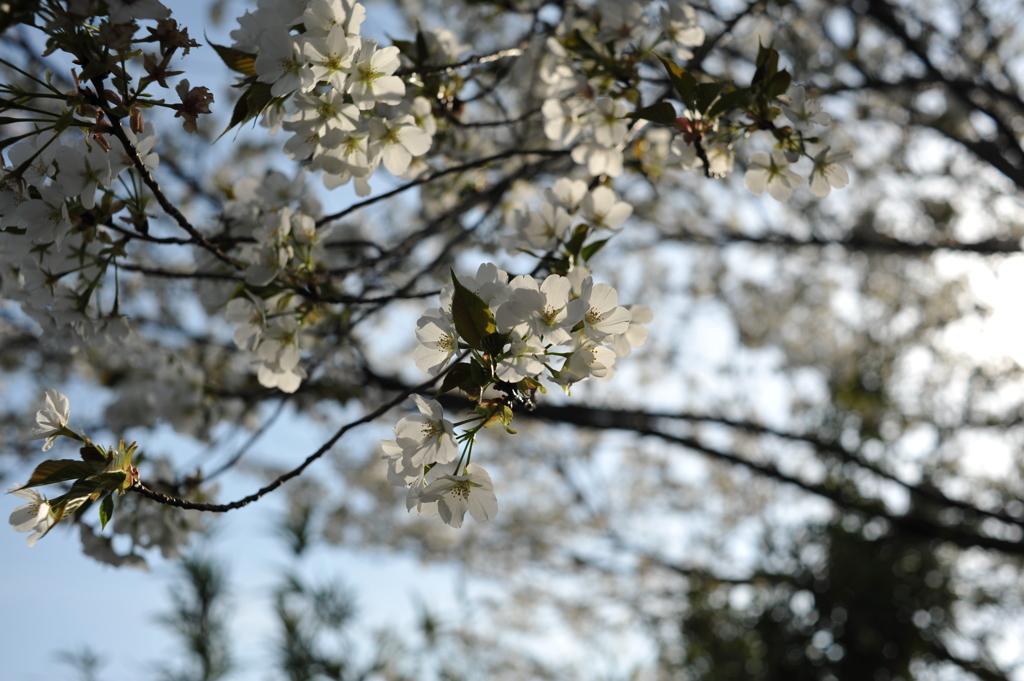 瀬谷 海軍道路 桜#2