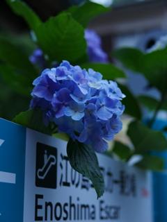看板越し 迎える 紫陽花