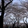 瀬谷 海軍道路 桜#1