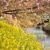 川辺の春②