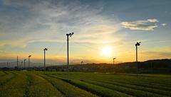 茶畑の夕景