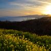 菜の花と夕景①