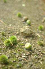 石ころ 栗 柿