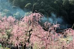 満開のしだれ梅と野火の煙