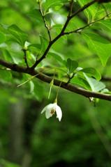残り花  エゴノキの花