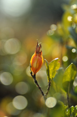 白い花の実  梔子(クチナシ)