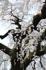 愛知県犬山市 円明寺のしだれ桜