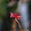 鶯神楽 (ウグイスカグラ)の花