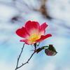 季節外れの一重の薔薇