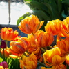 Double-flowered tulips in the evening
