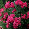 庭先に咲く赤い薔薇