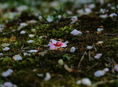 梅花 散る