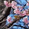 隣の桜 美味しいかな