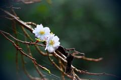 秋桜と枯れ葉