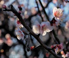 ミノムシと梅花