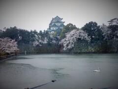 雨城桜と白鳥