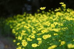 黄色いコスモス2