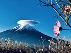 コスモスと笠雲 富士山