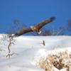 雪山のオジロワシ