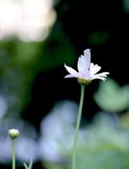 シジミ蝶(10歳作)