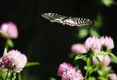 アゲハチョウ飛翔