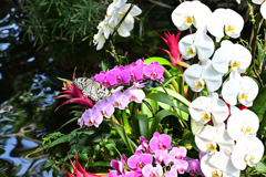 胡蝶蘭とオオゴマダラ