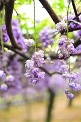 八重咲きの藤