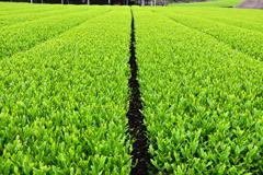 茶畑その2