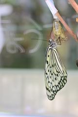 やっと蝶になれました