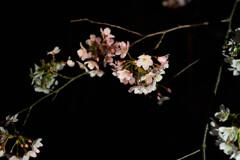夜桜2021-3