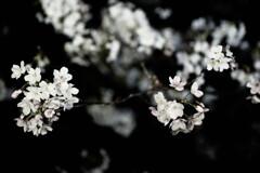 夜桜2021-1