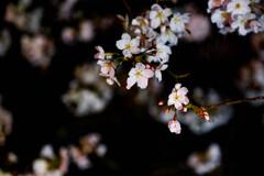 夜桜2021-2