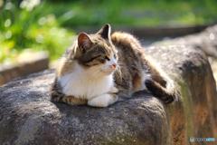 岩の上で寛ぐ外猫
