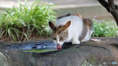 町中で暮らす外猫雨水を飲む