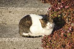 階段で丸くなり日光浴中の外猫