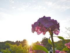 銭原の夕景1~紫陽花と夕日~