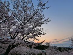 夜明け前の桜
