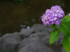 見山の郷 紫陽花(赤)