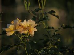 夕日を受けたバラ
