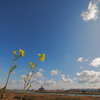 爽やかな空に映える菜の花
