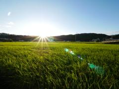 稲の輝き~陽が沈む前~