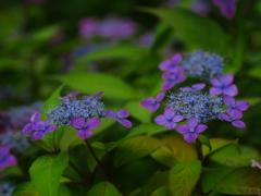 しっとりと咲く紫陽花