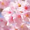 春の始め2021「河津桜3」