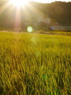 金色の稲穂