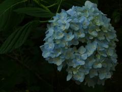 大門寺の紫陽花
