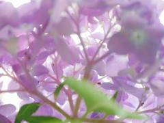 紫陽花の裏側(赤)