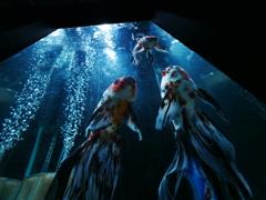 天に昇る錦の金魚