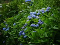 見山の郷の紫陽花(青)