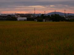 朝焼けに光る稲